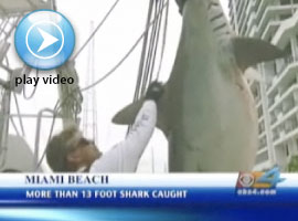 13 Foot Shark Caught